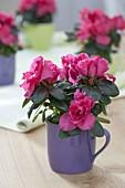 Rhododendron simsii (room azalea) in mug