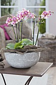 Phalaenopsis (Malayan flower, butterfly orchid)