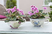 Saintpaulia Ionantha (African Violet) with blooming flowers