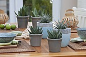 Haworthia fasciata 'Big Band' behind in blue-gray pots, Haworthia