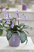 Chirita 'Destiny', novelty with purple bellflowers