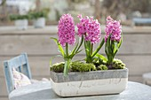 Hyacinthus 'Pink Pearl' (Hyacinth) in gray-white box