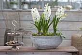 Hyacinthus 'White Pearl' (Hyacinth) in gray jardiniere