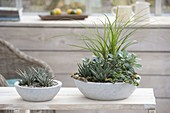 Houseplants in concrete bowls, Haworthia fasciata 'Big Band'