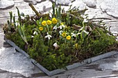Coaster with Galanthus nivalis and Eranthis hyemalis