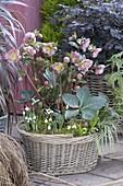 Basket with Helleborus x hybrida 'Penny's Pink', Galanthus nivalis