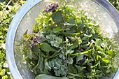Spring cure with wild herbs for salad or smoothies