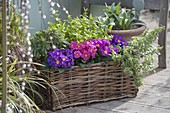 Basket with Primula acaulis and Abelia grandiflora 'Kaleidoscope'