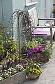Spring terrace with Salix caprea 'Pendula'