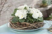 Primula acaulis 'Dawn Ansell' (Stained Primrose) in wreath