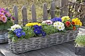 Basket with primula acaulis (primrose) and cress (lepidium)
