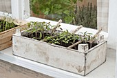 Tomato sowing on the windowsill