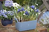 Wooden box with Iris reticulata (Netziris) and Galanthus nivalis