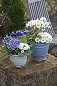 Primula acaulis 'Dawn Ansell' white, blue with white margin and iris