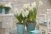 Narcissus 'Bridal Crown' and Hyacinthus 'White Pearl'