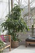 Ficus binnendijkii 'Amstel King' (rubber bush)