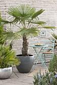 Trachycarpus fortunei (Hanfpalme) und Chamaerops humilis 'Vulcano'