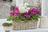 Primula malacoides in basket, bowl of cress
