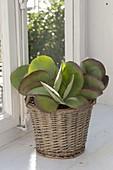 Kalanchoe thyrsiflora (desert cabbage)