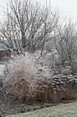 Frozen perennial border with Sedum telephium, Chrysanthemum