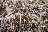 Frozen Carex (sedge) in the bed