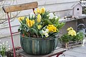 Basket with Tulipa, Primula acaulis, Viola cornuta