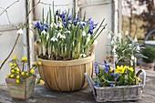Galanthus nivalis, Iris reticulata, Eranthis