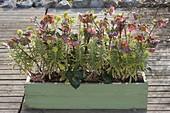 Helleborus X hybrida 'Penny's pink' and Euphorbia 'Helena'