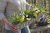 Woman carrying box basket with muscari, Viola cornuta