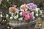 Basket jardiniere with Primula acaulis and Viola cornuta Callisto