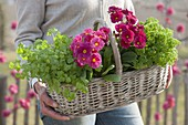 Woman carrying handle basket with primula elatior and parsley