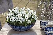 Viola cornuta Callisto 'White With Blotch' in bowl