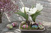 Schale mit Tulipa 'Calgary' (weiße Tulpen), bunten Eiern und Moos