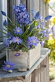 Blue planted box with anemone blanda, Hyacinthus