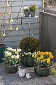 Easter balcony with Tulipa, Thuja 'Tim Tim'