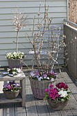 Spring balcony with Magnolia stellata 'Georg Henry Kern'