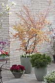 Orange spring shoot of Acer palmatum 'Katsura'