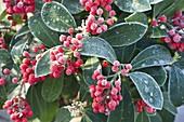 Overgrown Skimmia reevesiana (Japanese fruit cluster)