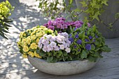 Gray Bowl with Primula 'Romance', Belarina 'Buttercup Yellow' 'Amethyst Ice'