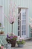 Prunus triloba, Hyacinthus 'Splendid Cornelia'