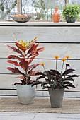 Codiaeum (Croton) Tuff and Calathea crocata (flower marant)