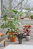 Schefflera actinophylla, Codiaeum Tuff and Calathe