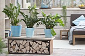 Zamioculcas zamiifolia as a room divider on bench with firewood