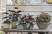 Begonia Rex 'Silver Queen', B listada, Calathea crocata