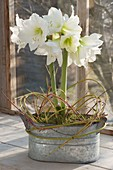 Hippeastrum 'Mont Blanc' in zinc jardiniere, decorated with twigs