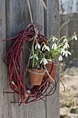 Cornus sanguinea wreath, Galanthus nivalis