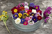 Primula tableau of various colors, shapes, styles