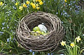 From willow branches homemade Easter nest between Myosotis