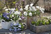 Anemone blanda 'White Splendor', Primula
