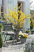 Blooming forsythia on the terrace
